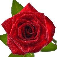 Поштучно красные розы 70 cv