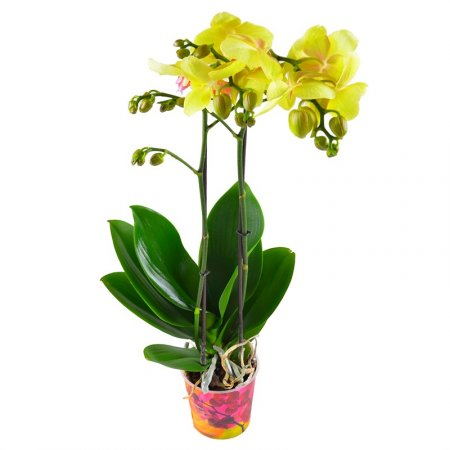 Лимонная орхидея
