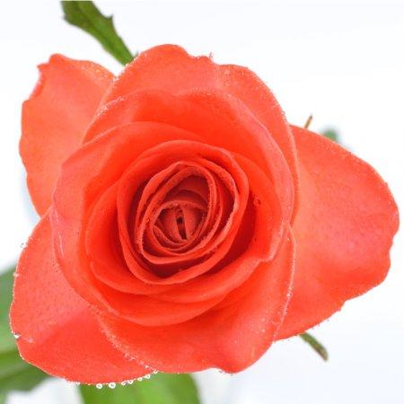 Оранжевые розы поштучно