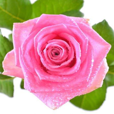 Розовые розы поштучно