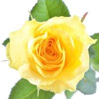 Желтые розы поштучно