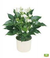 Купить комнатный цветок антуриум белый большой в интернете с доставкой