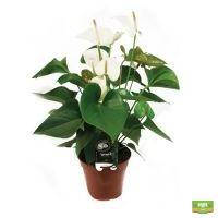 Купить цветок  антуриум белый в интернете с доставкой