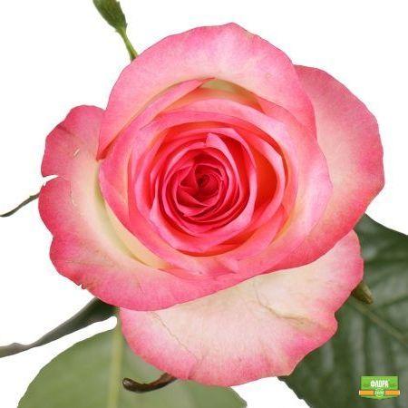 Бело-розовые розы поштучно