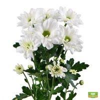 Белые хризантемы поштучно (ветка)