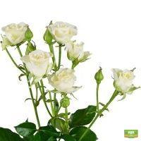 Заказать красивые Белые кустовые розы поштучно с доставкой