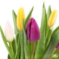 Букет тюльпанов  (тюльпаны поштучно)
