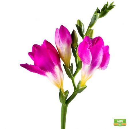 Фрезия розовая поштучно