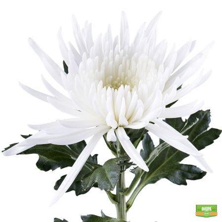 Хризантема белая поштучно