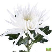 Купить белые хризантемы поштучно. Доставка в любой город страны и мира.