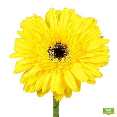 Желтые герберы поштучно
