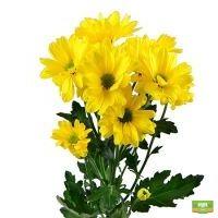 Желтые хризантемы поштучно (ветка)
