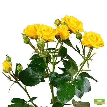 Желтые кустовые розы поштучно