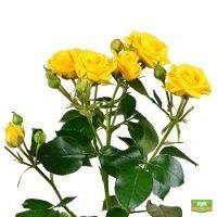 Заказать оригинальные желтые кустовые розы поштучно с доставкой