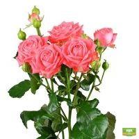 Купить романтические Коралловые кустовые розы поштучно с доставкой