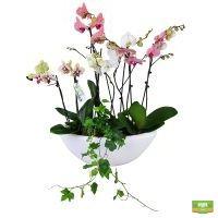 Купить красивую «Корзина орхидей» в горшке с доставкой