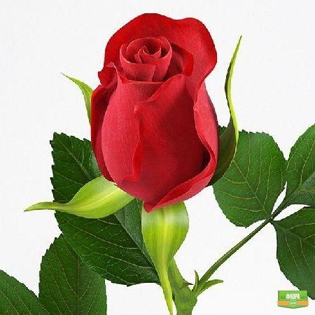 Красные розы поштучно (50см)
