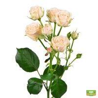 Заказать красивый букет из кремовых кустовых роз поштучно с доставкой