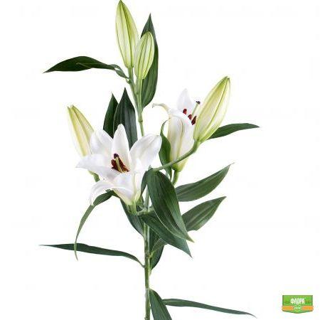 Лилия белая поштучно