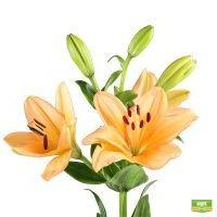 Лилия оранжевая поштучно