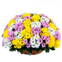 Корзина разноцветных хризантем