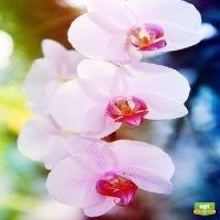 Орхидея Achilles
