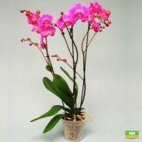 Орхидея Atlantis