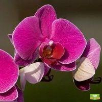 Орхидея Vivian