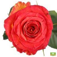 Красивые красно-желтые премиум розы поштучно купить с доставкой