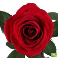 Купить букет красных роз Фридом поштучно в интернет-магазине