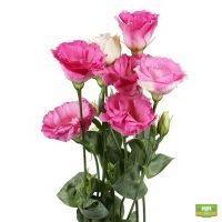 Розовые эустомы поштучно