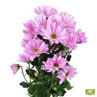 Розовые хризантемы поштучно (ветка)