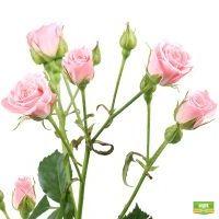 Заказать красивые Розовые кустовые розы поштучно с доставкой
