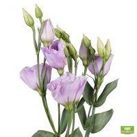 Заказать сиреневые эустомы поштучно в интернет магазине цветов