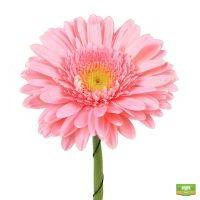 Светло-розовые герберы поштучно