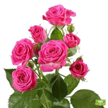 Темно-розовые кустовые розы  поштучно