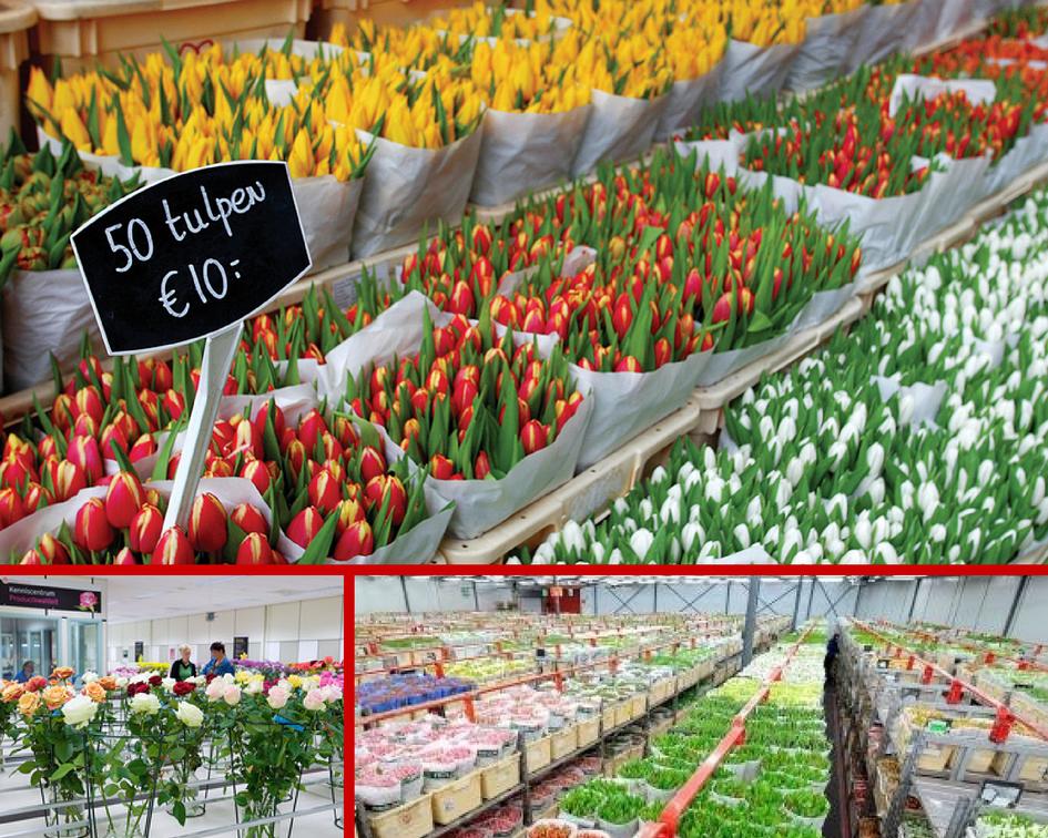 Цветы оптом новая голландия, цветов