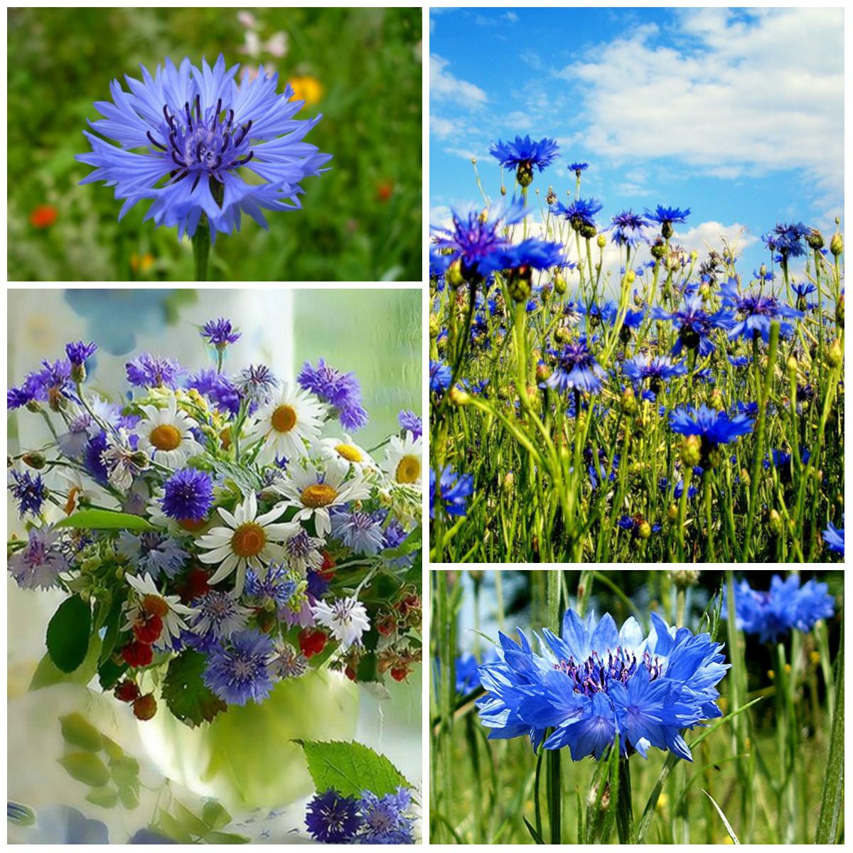 полевые голубые цветы названия и фото