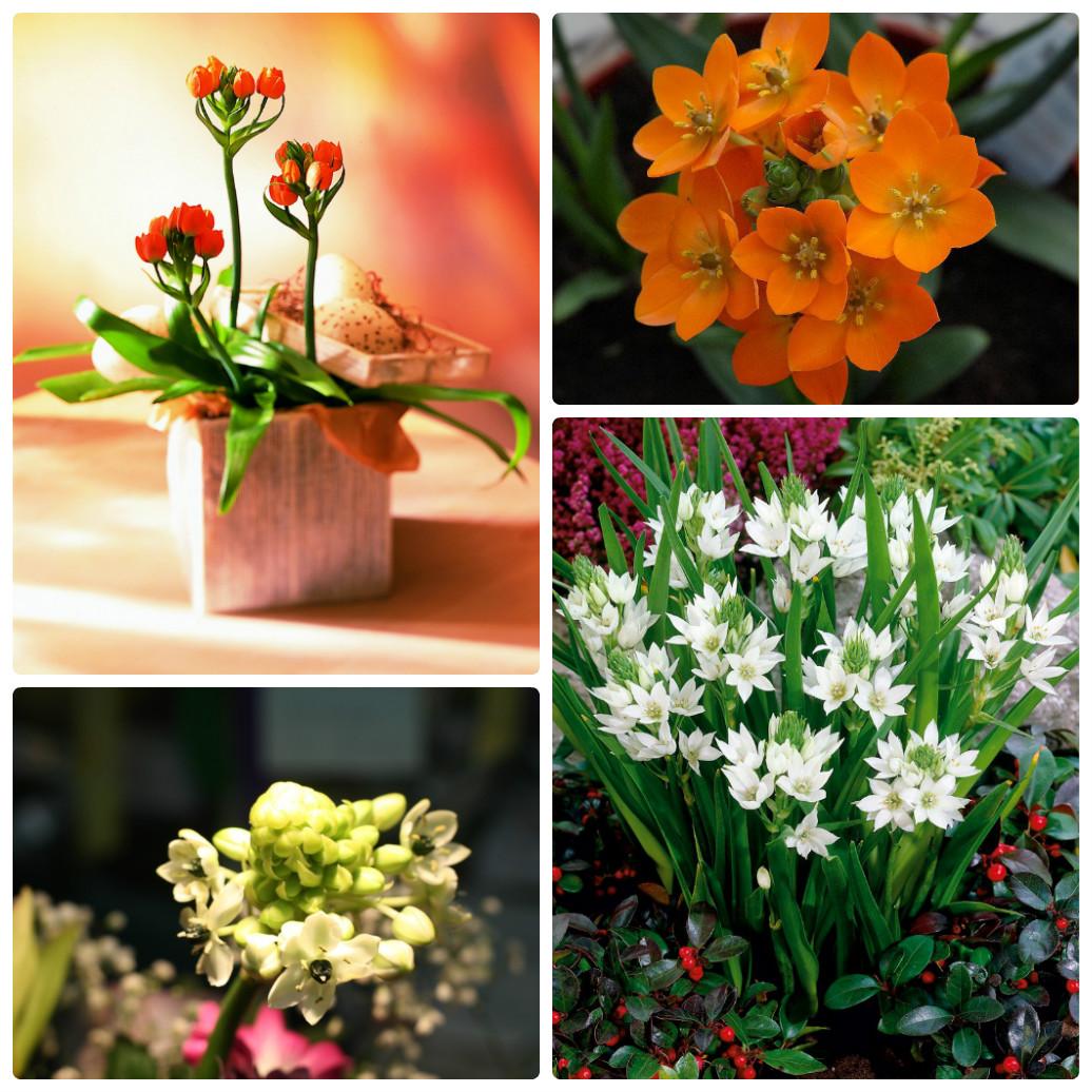 Орнитогалум_как_садовое_и_комнатное_растение
