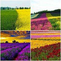 Цветочные плантации и красивейшие поля цветов в разных странах мира