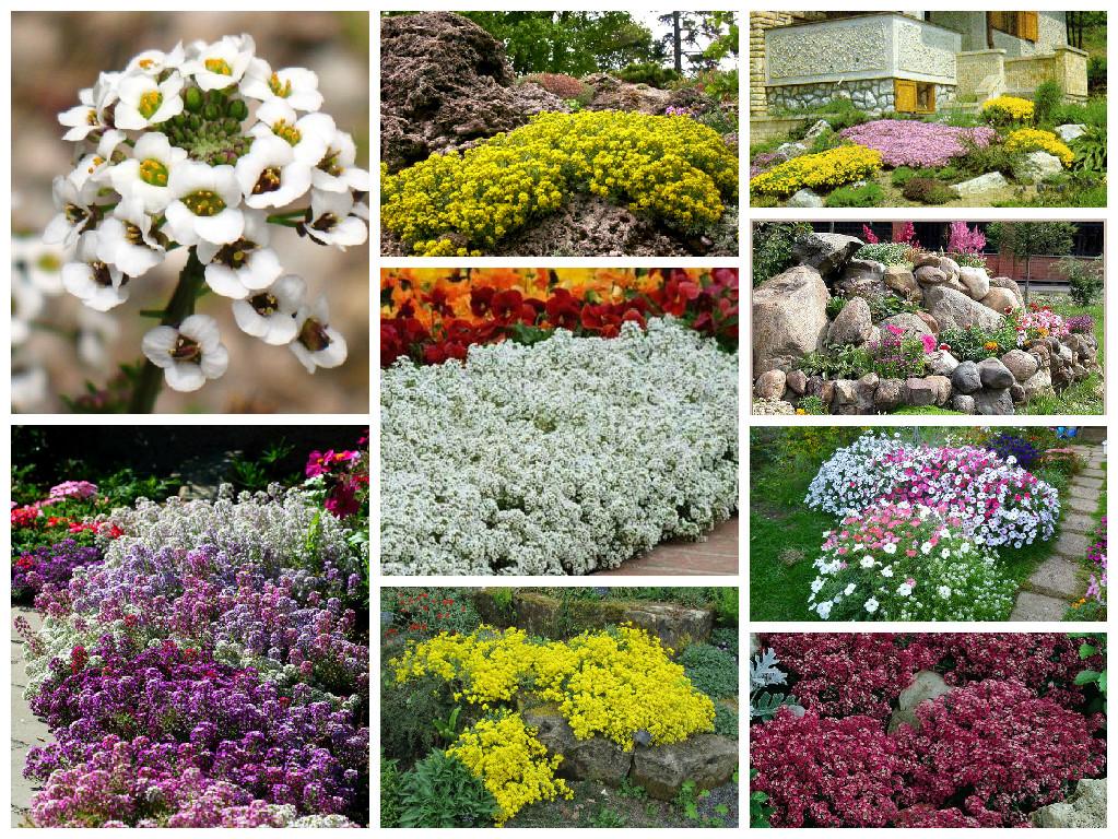 низкорослые многолетники цветы для дачи фото с названиями каталог данной