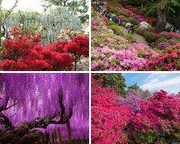 Национальный цветок японии