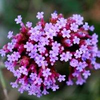 Трава вербена с яркими цветами: описание растения и методы выращивания. Цветы вербены лекарственной.