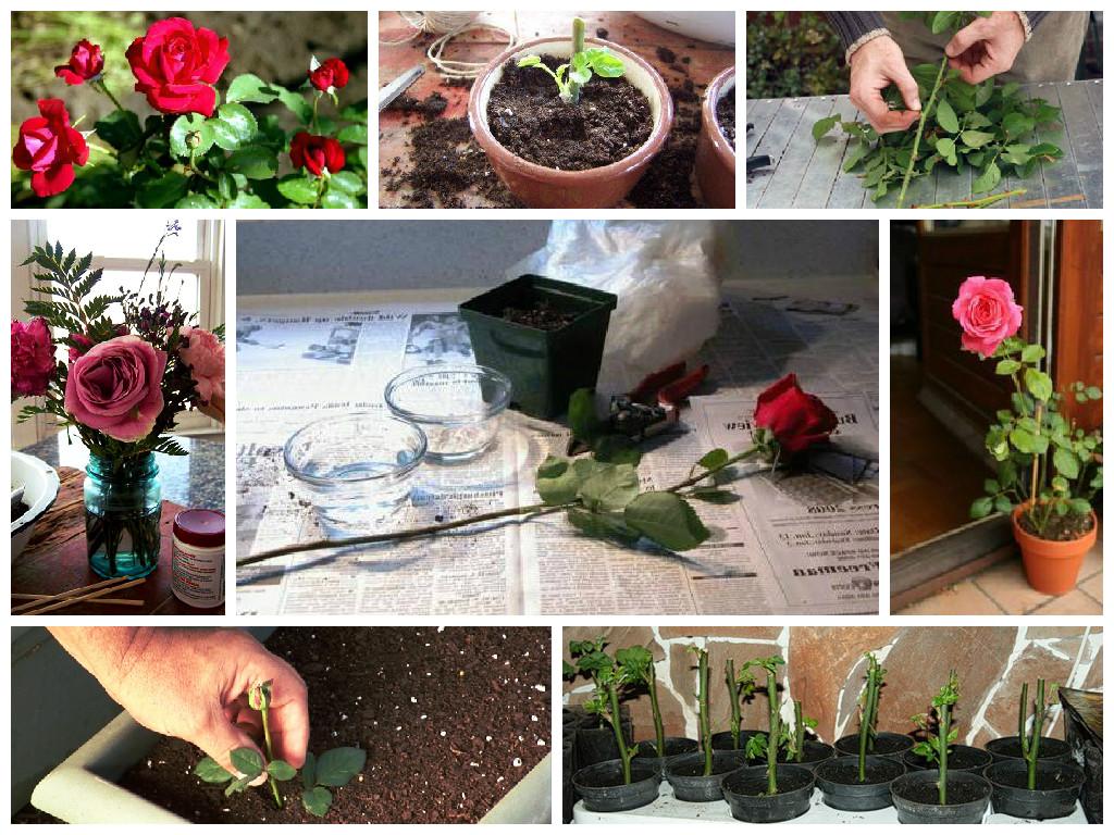 мастер своего как сажать розы черенками фото автовокзала алушты